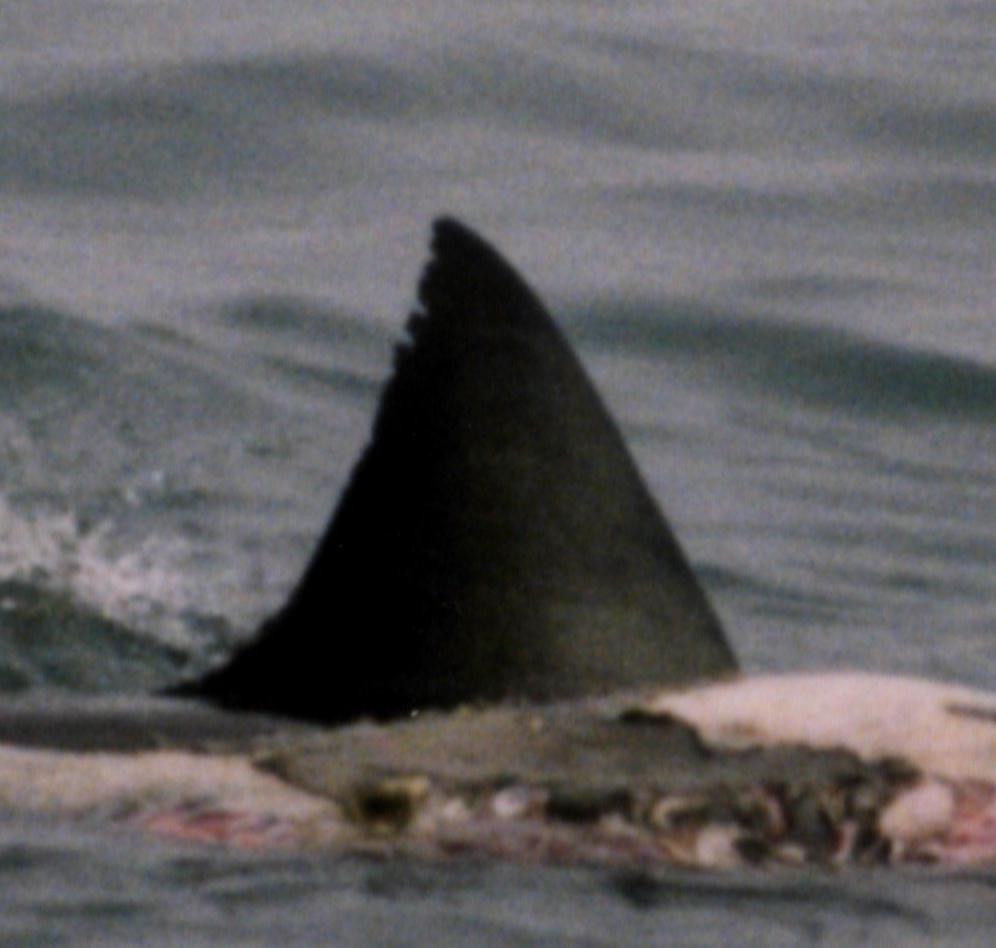encounter a great white shark figure 4 dorsal fin of the shark the fron to the right at this time the shark apparently turned away from the carcass to the right of the dorsal